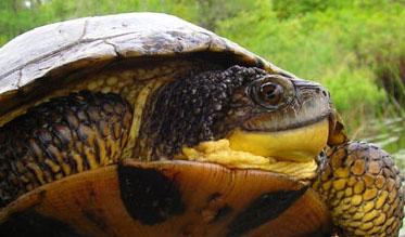 Blandings-Turtle