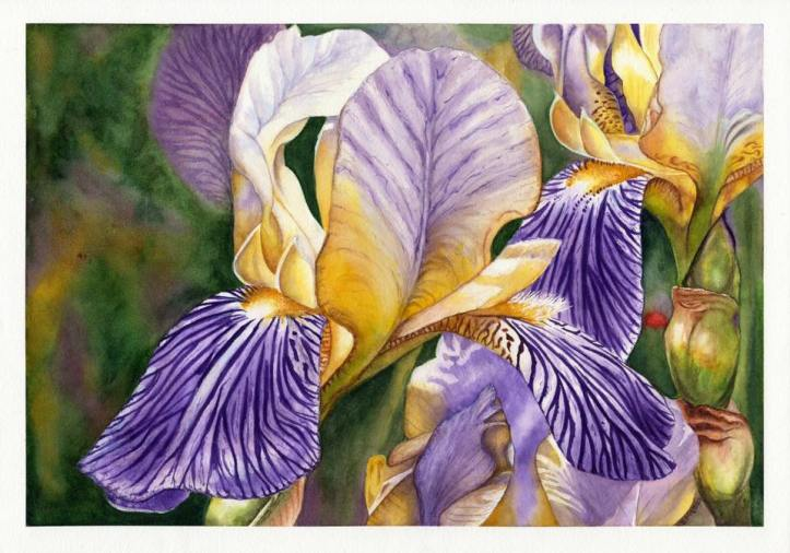 Meyer iris
